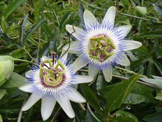 Цветы пассифлоры крупным планом