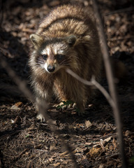 Common North American Raccoon