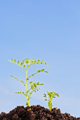 chickpea sprouts isolated on blue sky