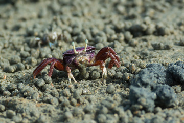 West African female purple Fiddler Crab filtering sand