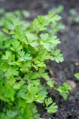 parsley growing in the garden