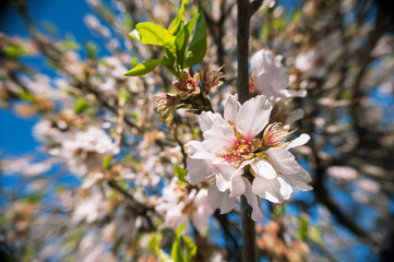 Almond blossoms at full bloom, soft focus