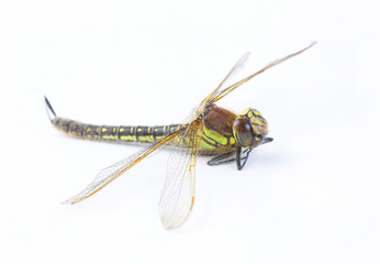 dragonfly macro shot on white background,