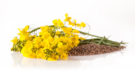 Rape blossoms and seeds on white background