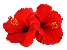 """Постер, картина, фотообои """"Red Hibiscus"""""""