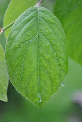 Quince leaf in the rain