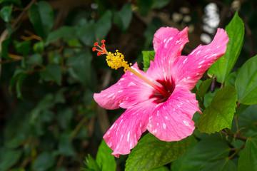 Pink flower Hibiscus