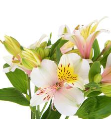 Alstroemeria flowers isolated on white