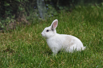 lapin blanc nain dans herbes