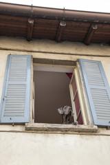 Cane alano alla finestra