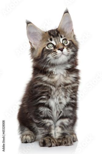 Fotobehang Lynx Maine Coon kitten
