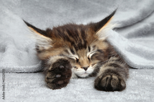 Foto op Canvas Lynx Maine Coon kitten sleep