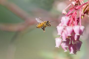 Honeybee and Manzanita Flower