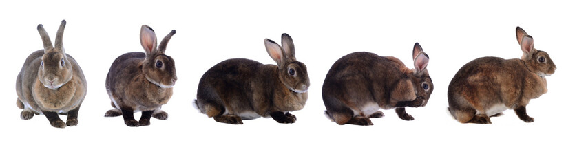 collection  rabbit isolated on a white background
