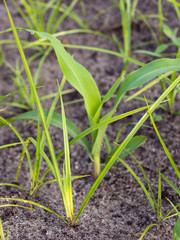 Landwirtschaft - Maisanbau - Schadbild Erdmandelgras