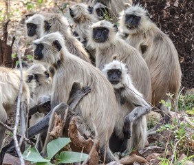 The Gray Langurs