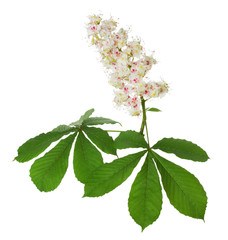 chestnut bloom on the white background