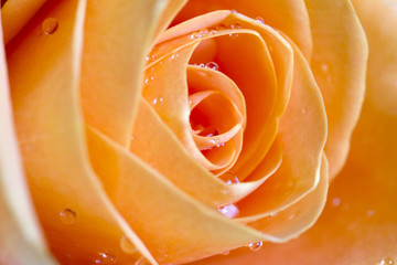 Rose orange petals macro background texture