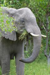 Afrikanischer Elefant in der Regenzeit