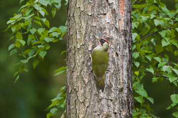 Green woodpecker on a tree