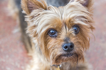 Close up head shot of Yorkshire terrier, a small, cute pet dog