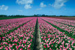 Pink Tulips Field in Spring, Lisse, The Netherlands