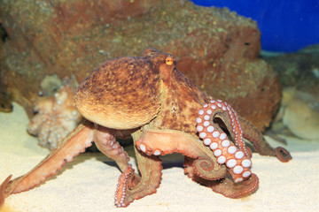 Common octopus (Octopus vulgaris) in Japan