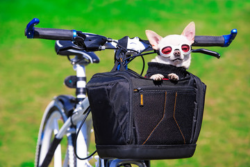 funny chihuahua in sunglasses