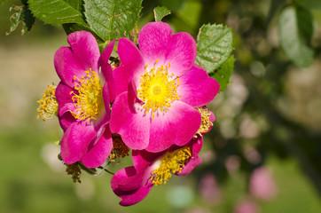 Canina roses