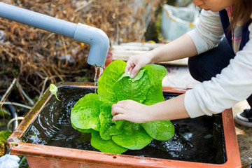 Washing organic lettuce by hand