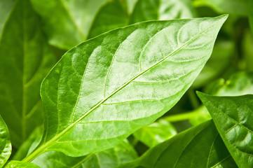 pepper leaves