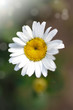 beautiful blooming white daisy