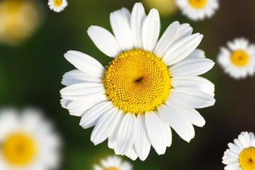 beautiful blooming white daisy