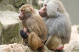 Baboon Family with a female breastfeeding her baby