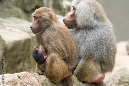 Foto op Plexiglas Aap Baboon Family with a female breastfeeding her baby