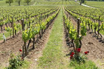 Rangs de vigne et rosier rouge