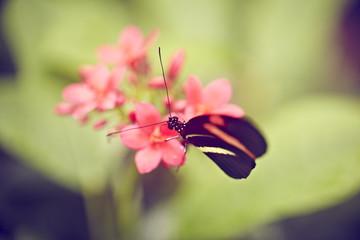 rot schwarzer schmetterling auf pinker Blüte
