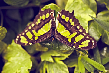 Close Up grün gestreifter Schmetterling