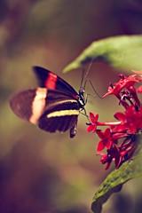 schwarz roter Schmetterling auf roter Blüte 3