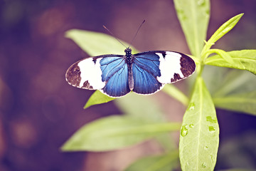 blauer Schmetterling auf Blatt