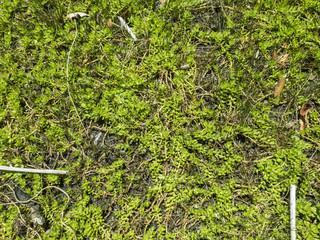 Textura de sotobosque. Vegetación pequeña.
