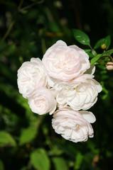 Белые садовые цветы крупным планом