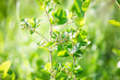 Green aronia in spring