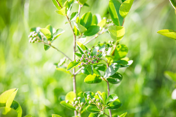 Green aronia in spring