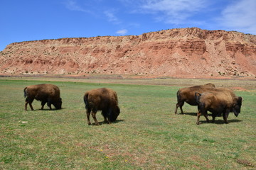Bison on the plains of Utah