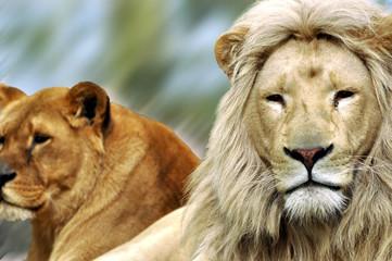 Das Löwenpärchen