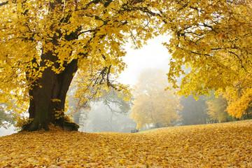 Linde im Park an einem nebligen Herbsttag