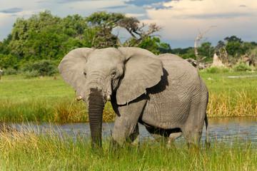 Elefantenbulle im Wasser