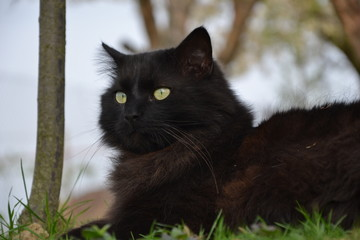 Black Chantilly cat relaxing in the garden