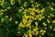 Obrazy na płótnie, fototapety, zdjęcia, fotoobrazy drukowane : Blooming Potentilla fruticosa Kobold